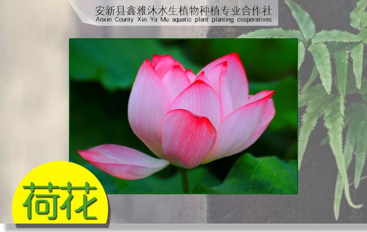 供应集宁种植荷花,睡莲种植技术,芦苇种苗销售,水生植物供应价格