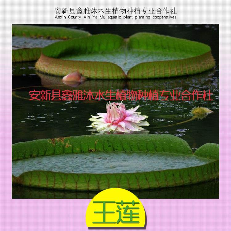供应王莲种植技术,专业种植鸢尾,千屈菜,睡莲,荷花,各种水生植物等