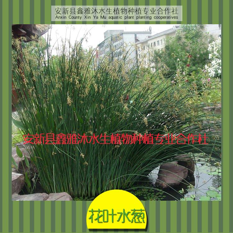 供应绿化工程用水葱苗,人工生态浮岛制作,千屈菜种植,香蒲种植,芦苇种植,水生鸢尾种植,美人蕉种植,水葱等种植