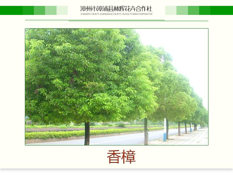 供应用于行道树|景观树|公园绿化的香樟,香樟树,香樟树苗,香樟苗木