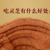 供应北京灵芝片批发,北京灵芝切片种植厂家