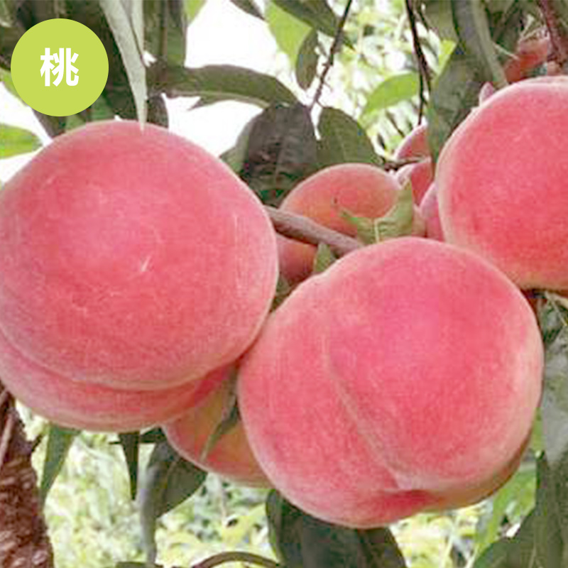 供应安徽桃树哪家好 桃树苗 嫁接树苗 水蜜桃 五月红 早熟 果树 品种