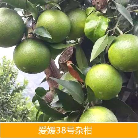 供应爱媛38号杂柑种苗厂家批发