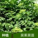 广西吴茱萸种苗中花图片