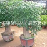 江北区办公室植物摆放租赁电话 江北区绿植花卉租赁电话