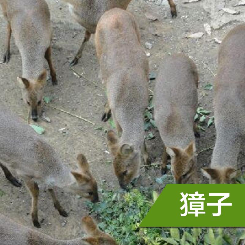 江苏獐子养殖|江苏獐子养殖报价@江苏獐子养殖公司@江苏獐子养殖