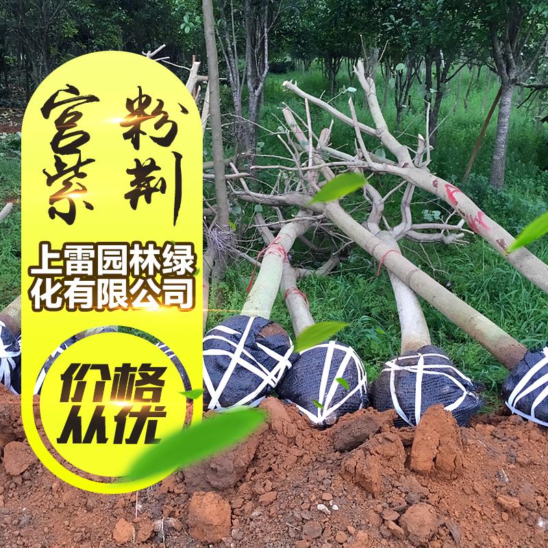 宫粉紫荆图片/宫粉紫荆样板图 (4)