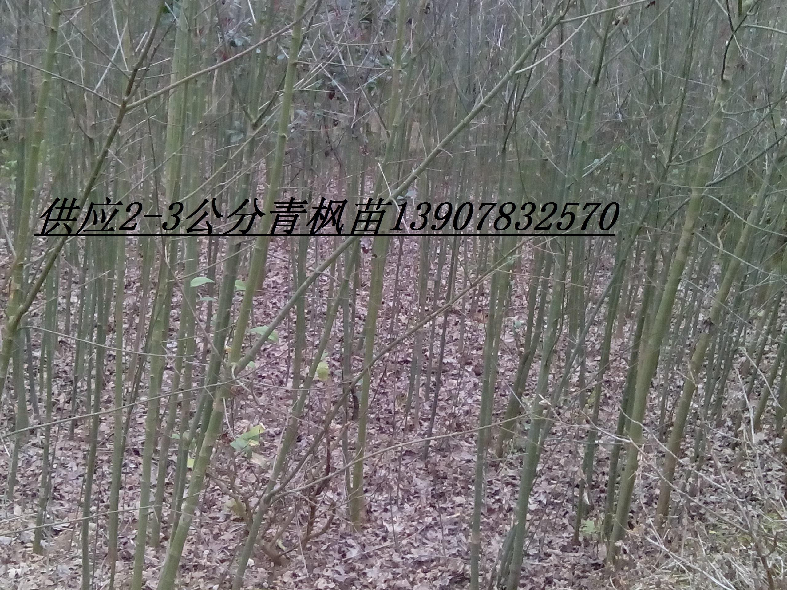供应用于种植的2公分青枫价格,5公分青枫,4公分青枫