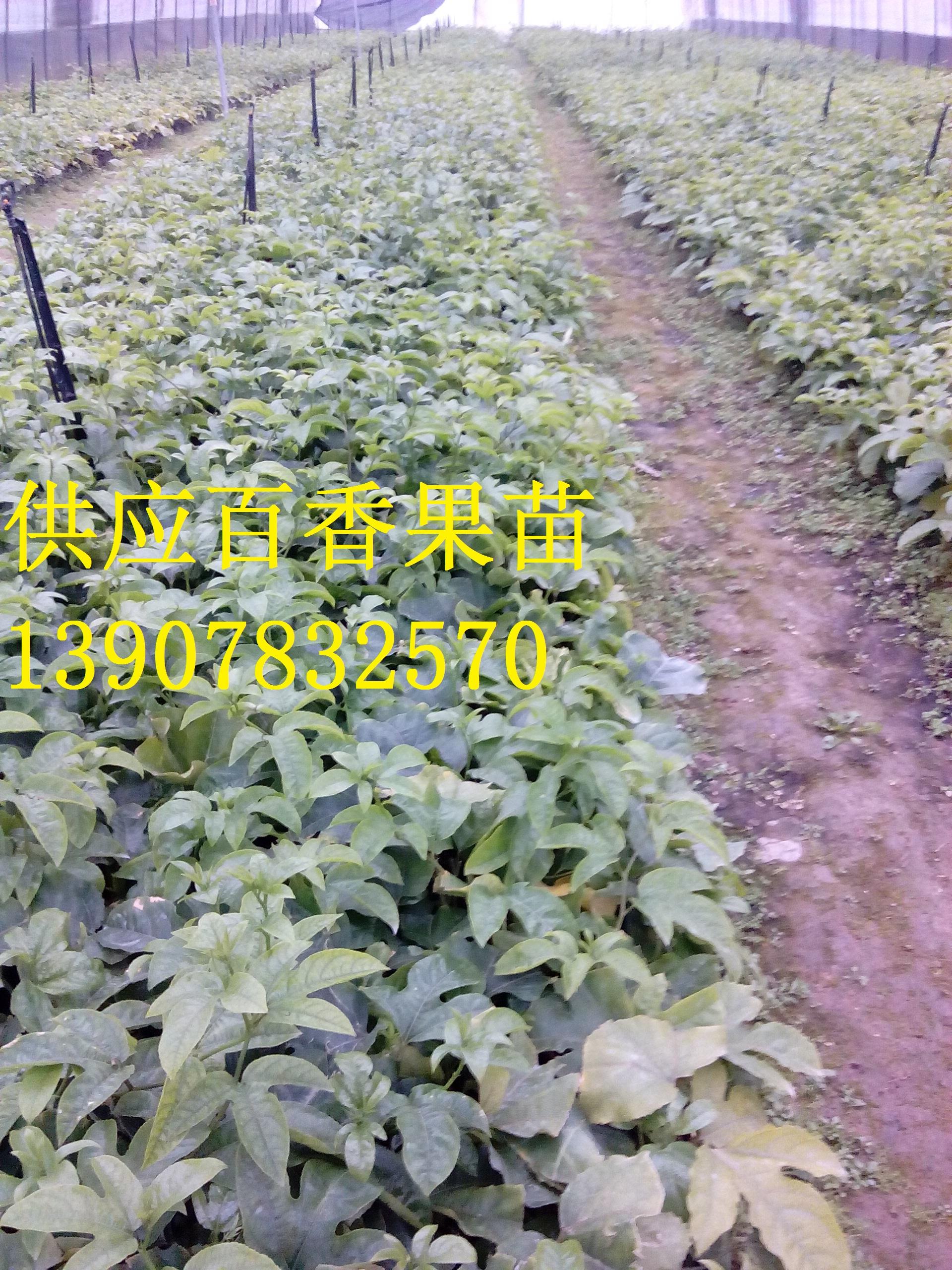 供应用于种植的广西百香果小苗,广西百香果小苗种植园,百香果小苗批发价