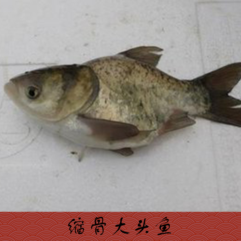 缩骨大头鱼_