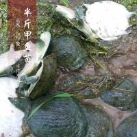 供應用于的貴州中華鱉甲魚苗養殖場批發價格/成品大甲魚多少錢一斤