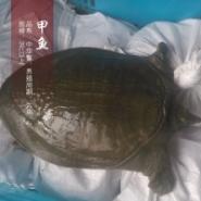 纯种中华鳖甲鱼苗养殖场批发图片