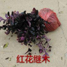 供应用于园林绿化的紅花继木批发