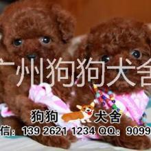 供应用于玩赏犬的泰迪熊宠物狗,棕色泰迪熊,咖啡色泰迪熊小型犬