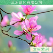 供应本地宫粉紫荆  本基地长期出售米径1-20公分袋苗地苗