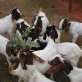 供应吉林市波尔山羊 波尔山羊怀孕几天下羊 波尔山羊适合圈养吗