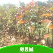 彩叶树槭树科房县槭苗图片