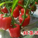 供应用于五彩椒种子的红圣达--五彩椒种子 彩椒新品种