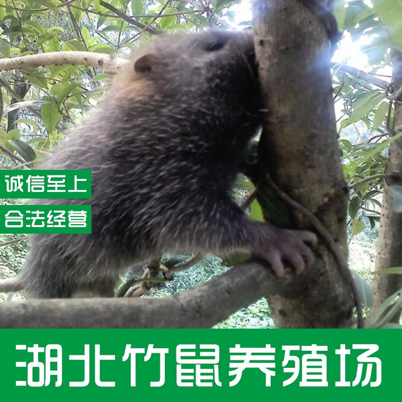 竹鼠图片/竹鼠样板图 (2)