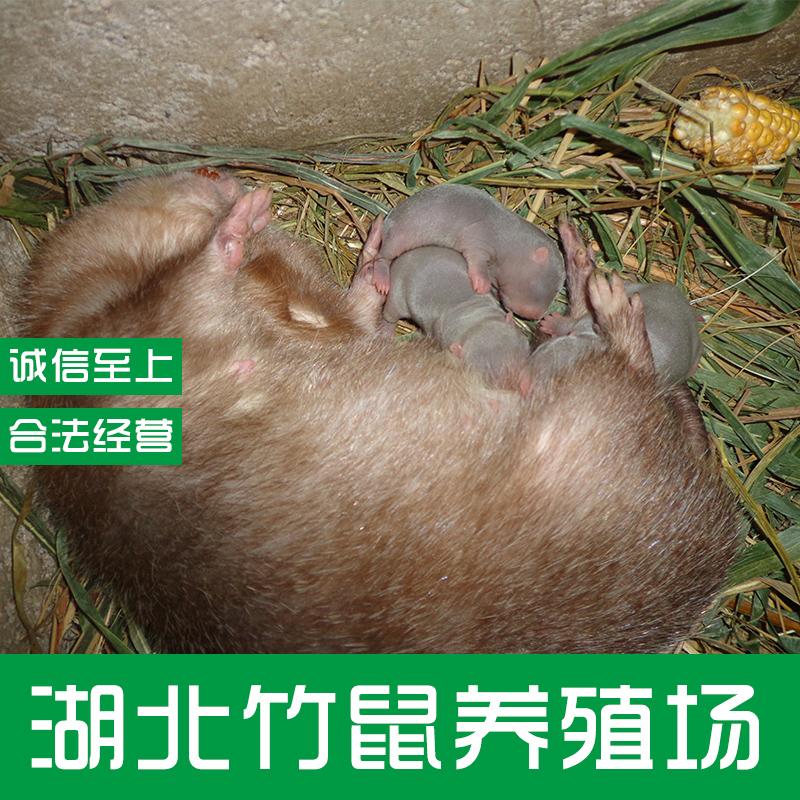 竹鼠图片/竹鼠样板图 (3)