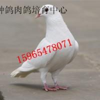山东种鸽养殖场国鑫养殖场