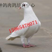 供应山东种鸽养殖场国鑫养殖场批发