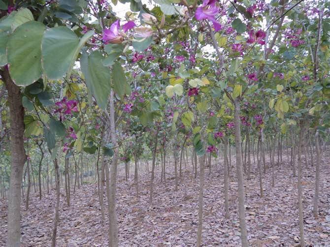 广西宫粉紫荆,宫粉紫荆种植技术,宫粉紫荆地苗批发价