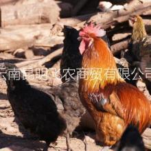 供应云南普洱瓢鸡,云南瓢鸡价格,云南瓢鸡飞农养殖