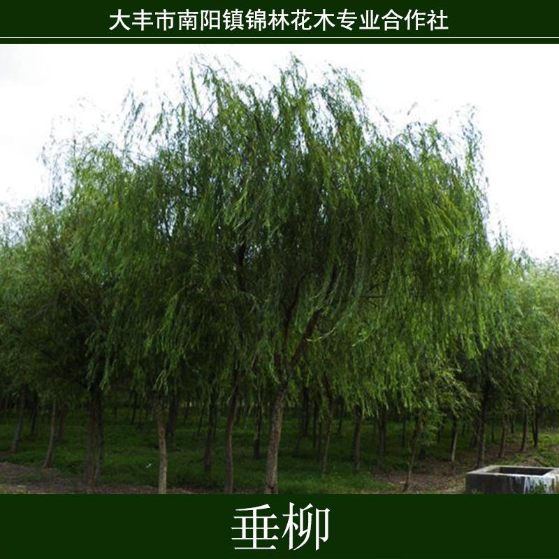 供应垂柳批发批发花卉园林绿化苗木 垂柳树苗 柳树小苗 根系好 成活高