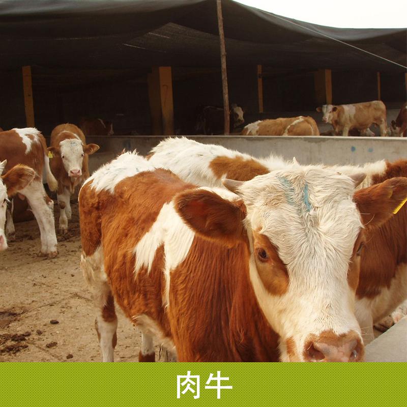 西门塔尔牛养殖场 肉牛养殖场 肉牛育肥 肉牛养殖
