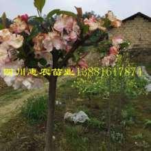 供应用于苗木的山茶花苗,山茶花苗价格,山茶花苗供应
