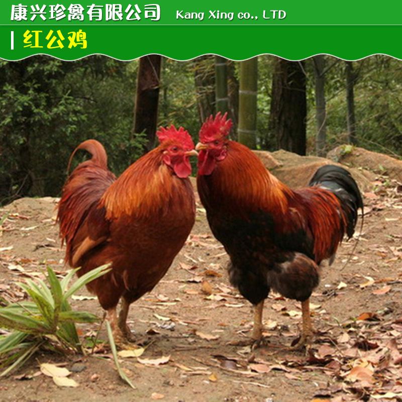 供应红公鸡供应动物种苗红公鸡怎么卖红公鸡出售