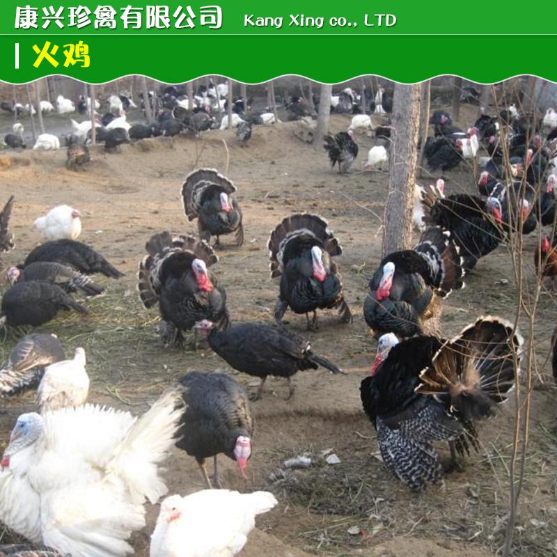 供应用于的火鸡供应火鸡价格火鸡怎么卖动物种苗
