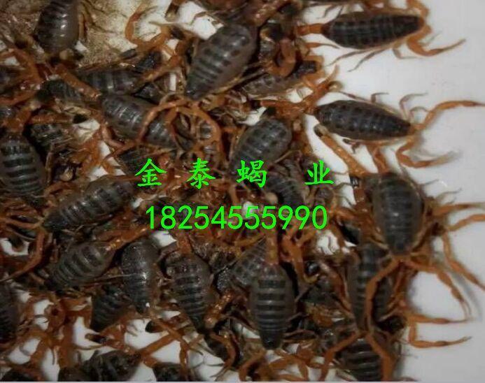金泰蝎业长期供应蝎子种苗,土元种苗,蜈蚣种苗,蟑螂种苗,大麦虫种苗,黄粉虫种苗,蛇蛋,联系电话18254555990