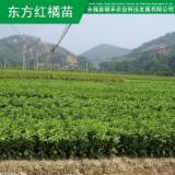 供应用于种植的广西砂糖橘果苗 桂林红橘苗东方农业技术服务农业种植