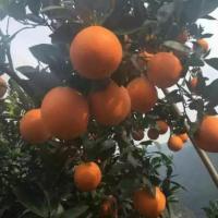 供应用于直接食用的秭归夏橙