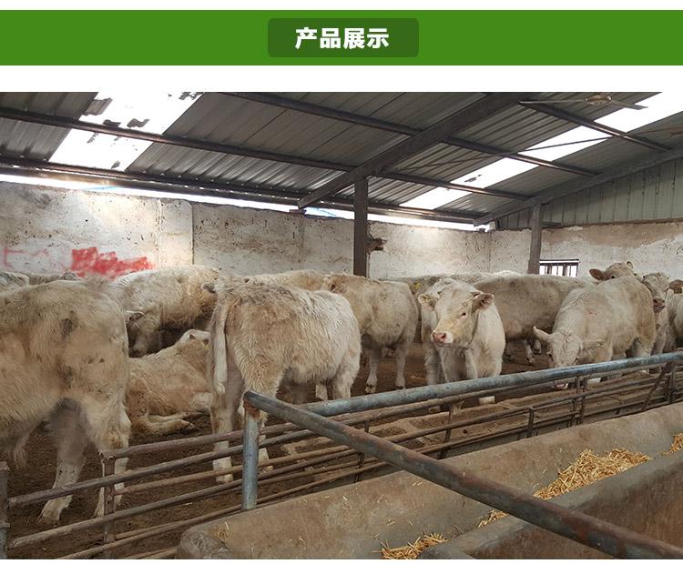 养殖场常年出售.鲁西黄牛.利木赞牛.夏洛莱牛.肉牛 绵羊