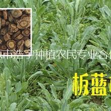 供应用于中药材原料的板蓝根粉  大青叶 浓缩粉