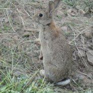 纯种野兔多少钱图片
