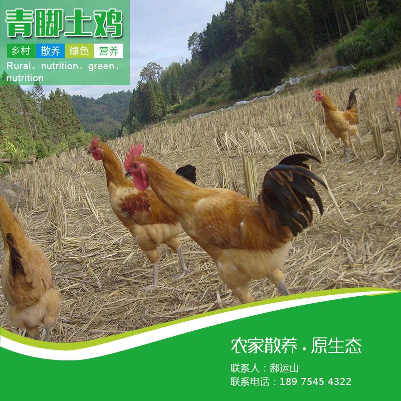 青脚土鸡销售