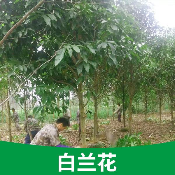 供应基地直供盆栽树苗广西白兰花供应白兰花树苗