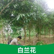 供应基地直供盆栽树苗广西白兰花供应白兰花树苗批发