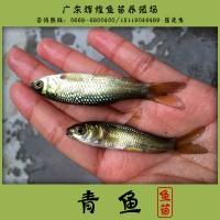 优质青鱼苗,黑鲩鱼苗养殖技术