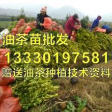 供应用于种苗的江西抚州高产油茶苗,宜黄,金溪,图片