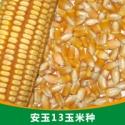 供应北京天津山西辽宁沈阳玉米种子农作物种子安玉13玉米种