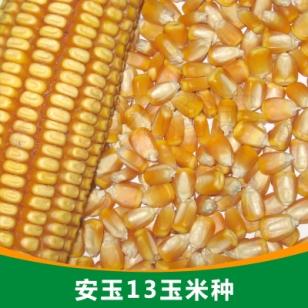 安玉13玉米种图片