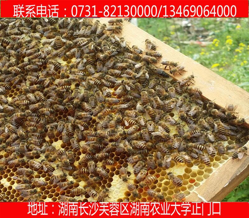 供应用于养蜂专用的张家界种蜂 蜂种 土蜂 蜜蜂 蜂王 蜂具 蜂箱 巢框 巢脾 巢础