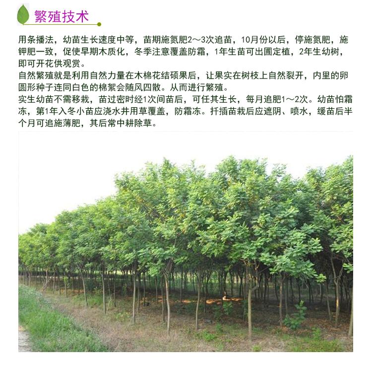 供应广西木棉树,红棉 英雄树
