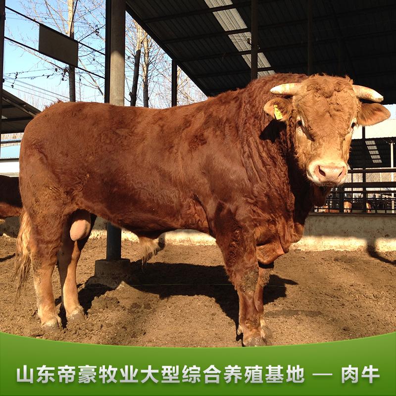 供应肉牛 肉牛养殖场 肉牛价格 肉牛养殖利润