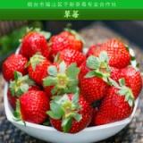 供应草莓 冰冻草莓 冷冻草莓 速冻草莓 新鲜草莓 草莓苗